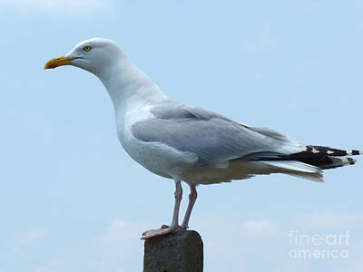 Photograph - Herring Gull by Phil Banks