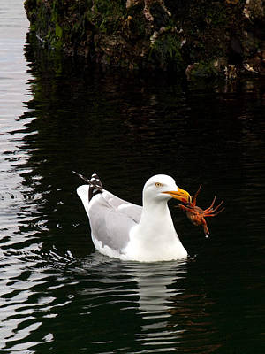 Photograph - Herring Gull With Crab by David Beebe