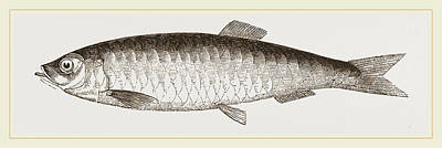 Herring Drawing - Herring by Litz Collection