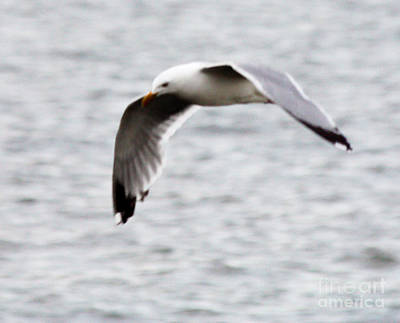 Photograph - Herring Seagull In Full Flight by John Telfer
