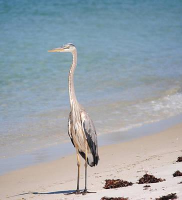 Blue Herron Photograph - Herron On Beach by Lucy Bounds