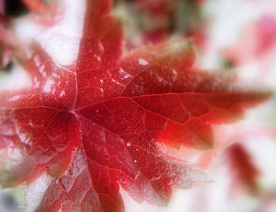 Photograph - Back Lit Beauty Red Leaf by Louise Kumpf