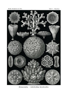Art In Nature Drawing - Hexacoralla by Ernst Haeckel