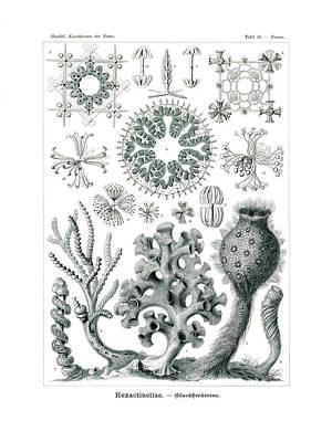 Phoenix Drawing - Hexactinellae by Ernst Haeckel