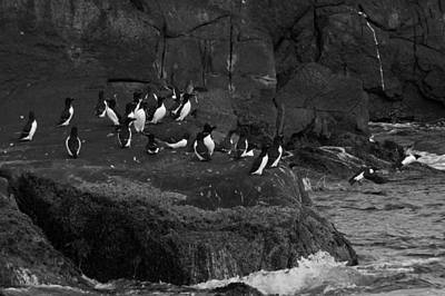 Razorbill Wall Art - Photograph - Hey All An Auk by Daniel Hebard
