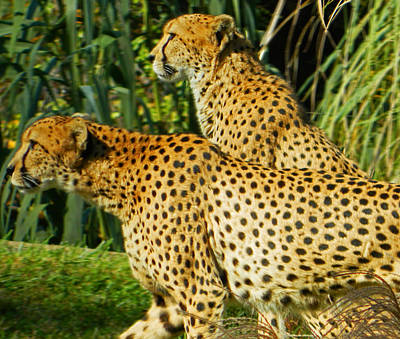 Cheetah Digital Art - Hey Bro - Do You See What I See? by Emmy Marie Vickers