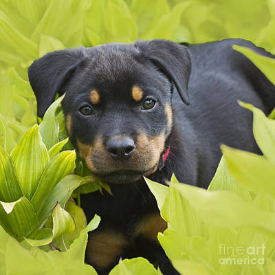 Rottweiler Wall Art - Photograph - Hey Here I Am by Heiko Koehrer-Wagner