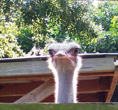 Photograph - Big Ostrich Eyes Look Down There by Belinda Lee