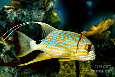 Photograph - Hi Fin Snapper by Steven Parker