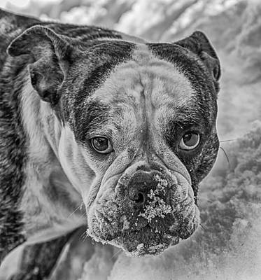 English Bull Dog Photograph - Hi I'm Trixie Bw by Mitch Johanson