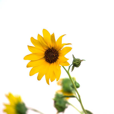 Sunflowers Royalty-Free and Rights-Managed Images - Hi Key Sunflower by Peter Tellone