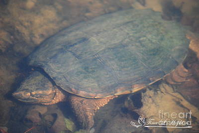 Photograph - Hibernating Snapping Turtle 20120317_114a by Tina Hopkins