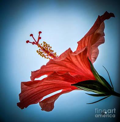 Photograph - Hibiscus 2 by Ronald Grogan
