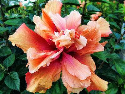 Photograph - Hibiscus 31 by Dawn Eshelman