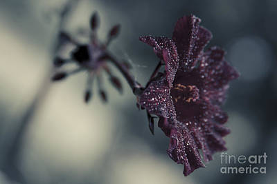 Rose Of Sharon Photograph - Hibiscus Acetosella by Sharon Mau