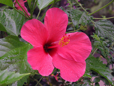 Photograph - Hibiscus - After The Rain - 01 by Pamela Critchlow