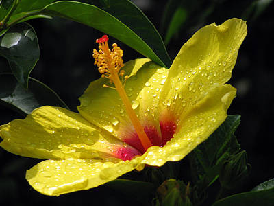 Photograph - Hibiscus - After The Rain - 04 by Pamela Critchlow