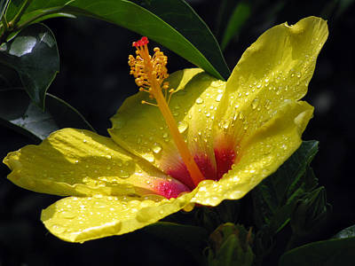 Photograph - Hibiscus - After The Rain - 05 by Pamela Critchlow