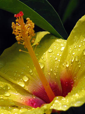 Photograph - Hibiscus - After The Rain -07 by Pamela Critchlow