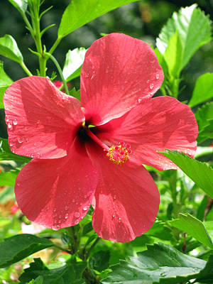 Photograph - Hibiscus - After The Rain - 10 by Pamela Critchlow