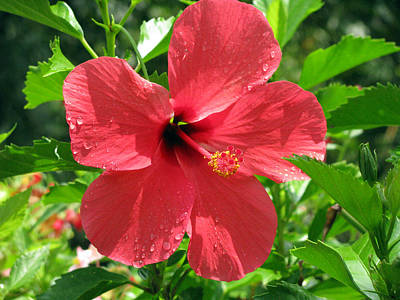 Photograph - Hibiscus - After The Rain - 14 by Pamela Critchlow