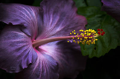 Photograph - Hibiscus Bloom In Lavender by Julie Palencia