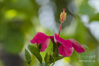 Hibiscus Blooming Art Print