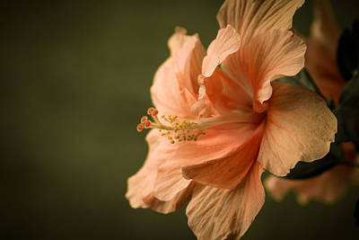 Photograph - Hibiscus by Brian Caldwell