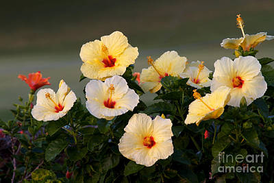Photograph - Hibiscus Convention All Profits Go To Hospice Of The Calumet Area by Joanne Markiewicz