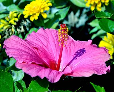 Photograph - Hibiscus by Deena Stoddard