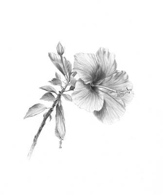 Hibiscus Drawing - Hibiscus by Diane Cardaci