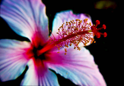 Art Print featuring the photograph Hibiscus Extending by Joseph Hollingsworth