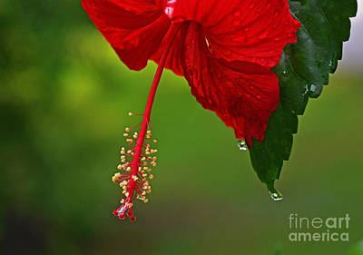 Hibiscus Flower Art Print