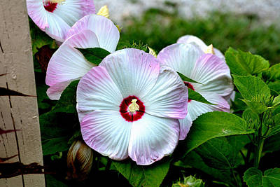 Photograph - Hibiscus Giants by Kathleen Stephens