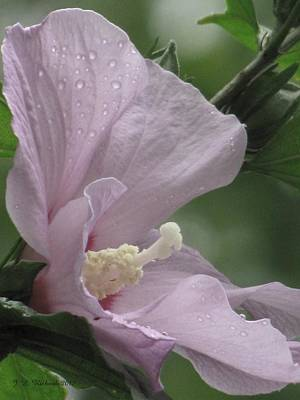 Photograph - Hibiscus I by Jennie Richards