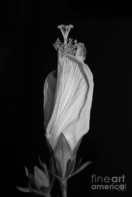 Photograph - Hibiscus In Black And White I by Geri Glavis