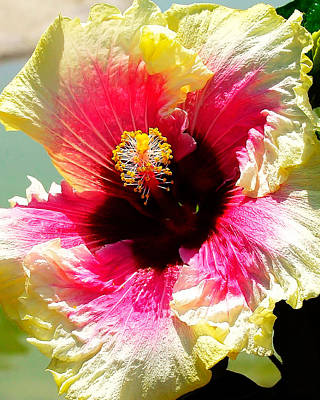 Photograph - Hibiscus In Bloom by Wayne Wood