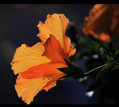 Photograph - Hibiscus In Light by Michael Saunders