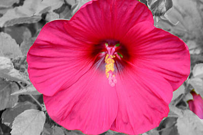 Photograph - Hibiscus by Jim Martin