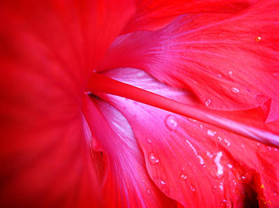 Photograph - Hibiscus by Kara  Stewart