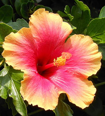 Hibiscus Art Print by Kay Gilley