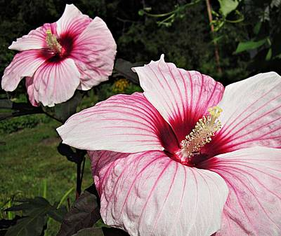 Photograph - Hibiscus Kopper King by MTBobbins Photography