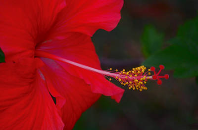 Photograph - Hibiscus by Leticia Latocki