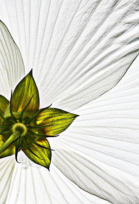 Hibiscus Photograph - Hibiscus by Marcia Colelli