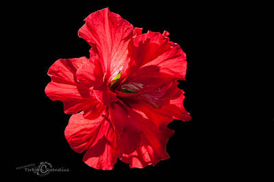 Double Layer Photograph - Hibiscus Rosa Sinensis - Pride Of Hankins II by Torbjorn Swenelius