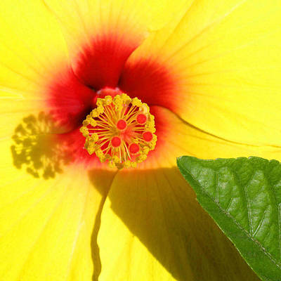 Hibiscus Shadows Art Print