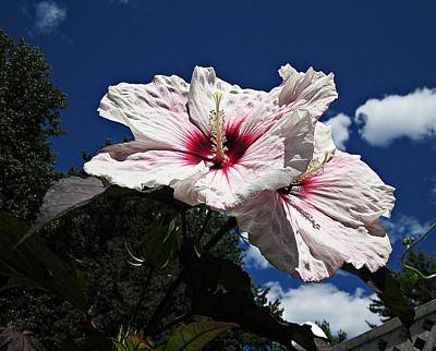 Photograph - Hibiscus Sky by MTBobbins Photography