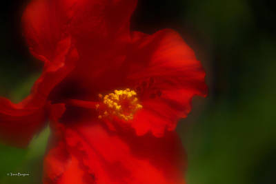 Art Print featuring the photograph Hibiscus Softly 2 by Travis Burgess