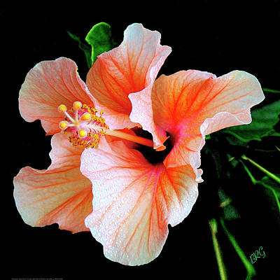 Flowers And Water Drops Wall Art - Photograph - Hibiscus Spectacular by Ben and Raisa Gertsberg