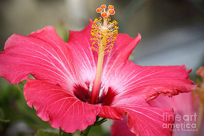 Art Print featuring the photograph Hibiscus by Todd Blanchard